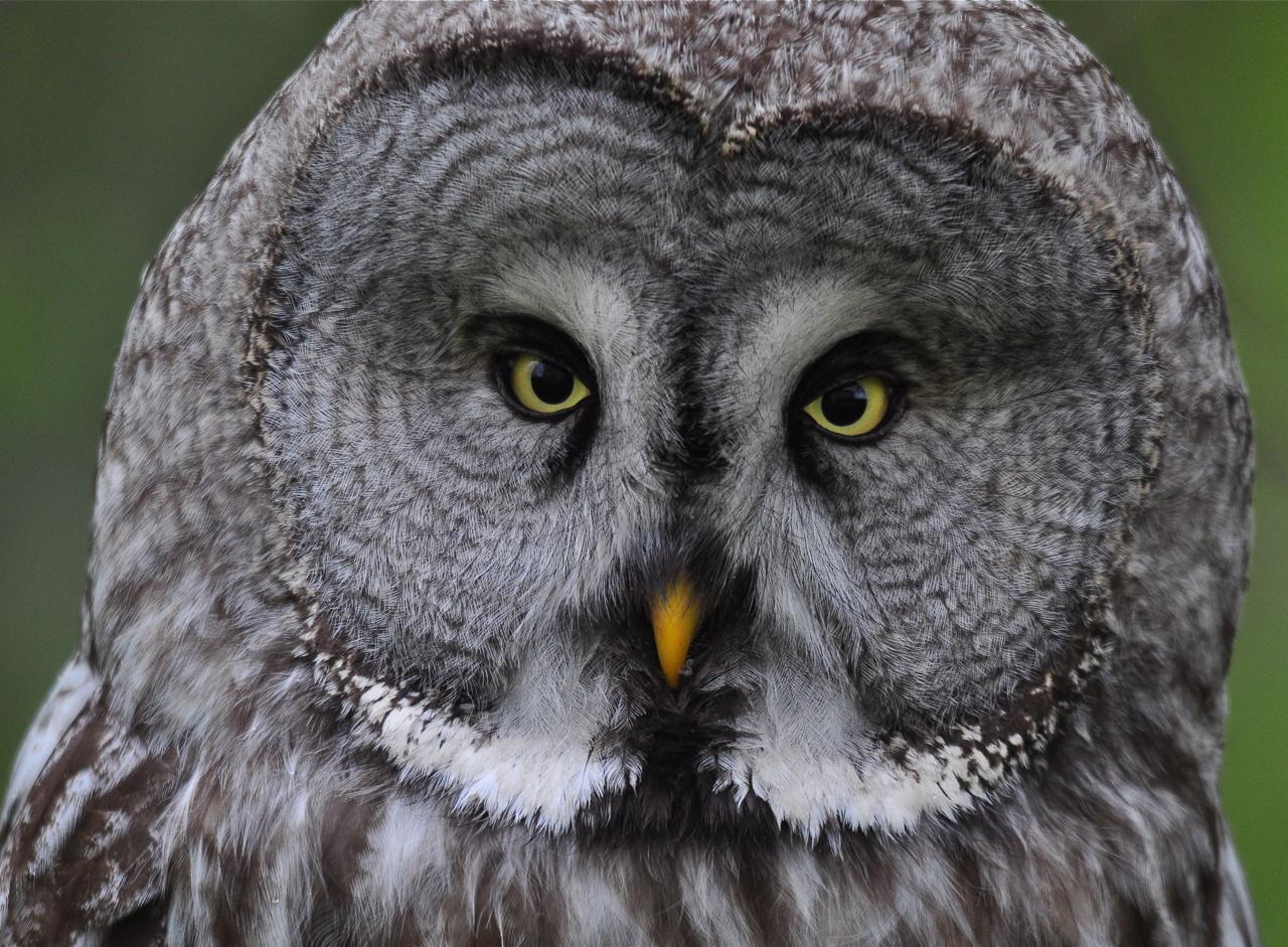Blogbirder: Great Grey Owl; Ekolosund Slott; 14th May 2012