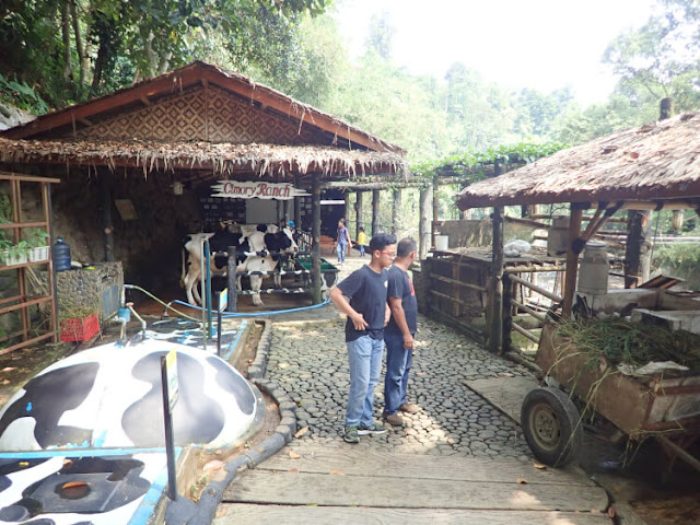 peternakan sapi cimory