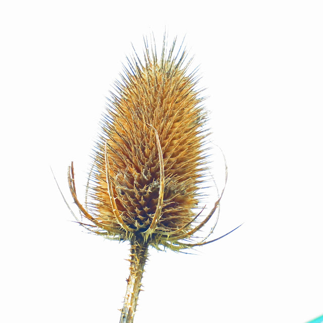 Picture of teasel from which seeds are dropping - only you can't see the seeds.