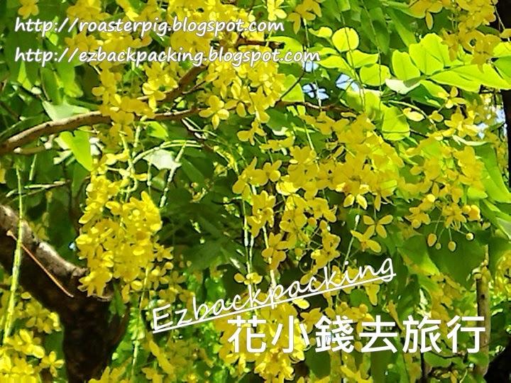 九龍公園臘腸樹
