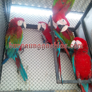 Macaw Green Wing Dewasa