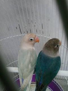 persilangan lovebird yang bagus