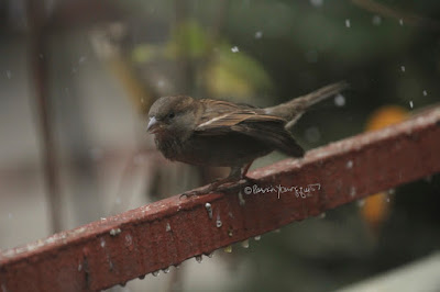 "This photo features a young female house sparrow perched on a metal orange colored railing that surrounds my garden. Wet snow is falling lightly.  A web-page (@ https://www.thespruce.com/house-sparrow-387273) for this bird type describes this bird type by saying, ""Male and female house sparrows look distinctly different. Males have a black chin and bib, white cheeks, and a rust-colored cap and nape of neck. The black on the chin and breast can vary widely, with older, more dominant males showing more extensive black. The underparts are pale grayish, and the back and wings show brown and black streaking. The rump is gray. Males also have a single white wing bar. Females are plainer, with a broad buff eyebrow and brown and buff streaks on the wings and back. On both genders, the legs and feet are pale and the eyes are dark. Overall, both males and females have a stocky appearance. Juveniles resemble adult females but with less distinctive markings and a less defined eyebrow.""  House sparrows are featured in my book series, ""Words In Our Beak."" Info re my books is in another post on my blog @  https://www.thelastleafgardener.com/2018/10/one-sheet-book-series-info.html"