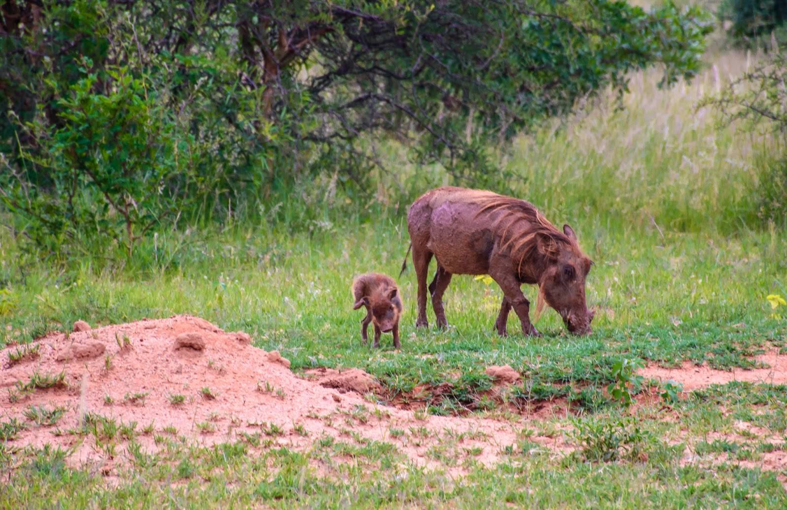 south africa safari baby warthogs and big 5 animals up close