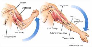 sistem kerja otot bisep dan trisep