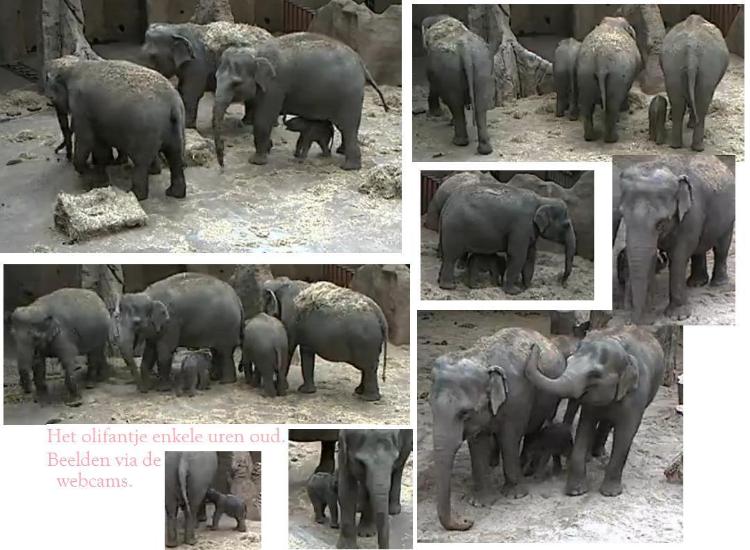 geboorte olifantje blijdorp webcam