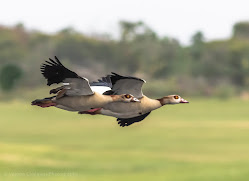 Two Egyptian Geese in Flight Woodbridge Island Image Copyright Vernon Chalmers Photography