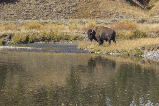 Soda Butte Creek and a large bull bison or buffalo