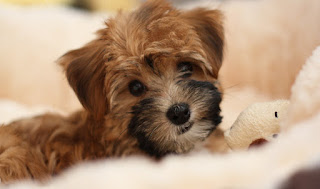 Everything about your Yorkipoo