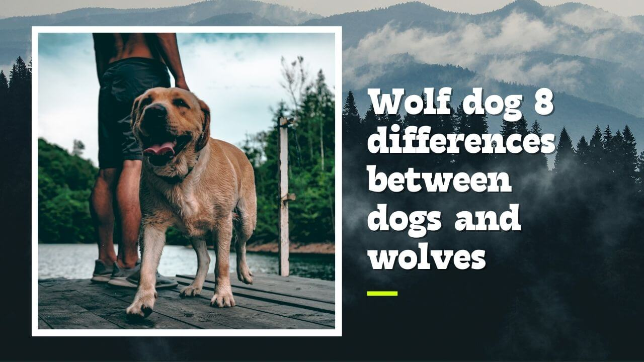 Wolf dog 8 differences between dogs and wolves