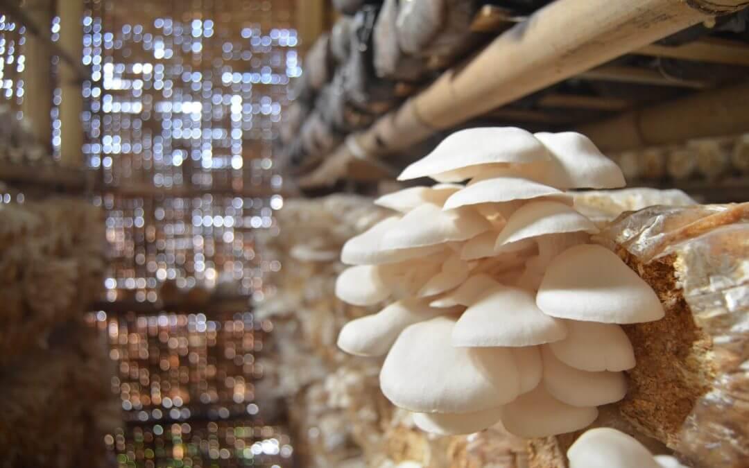peluang usaha jamur tiram, peluang bisnis jamur tiram, peluang usaha rumahan budidaya jamur tiram, bibit jamur tiram, jamur merang, cara membuat baglog jamur tiram, budidaya jamur tiram pdf, harga jamur tiram per kg, budidaya jamur kancing, cara membuat baglog jamur tiram, omset budidaya jamur tiram, budidaya jamur merang, keuntungan budidaya jamur tiram, budidaya jamur kuping, tempat untuk budidaya jamur tiram, cara budidaya jamur tiram untuk pemula, proses produksi jamur tiram, cara budidaya jamur merang, cara budidaya jamur kancing, harga jual jamur tiram, potensi budidaya jamur tiram, makalah budidaya jamur tiram, budidaya jamur tiram putih di daerah panas, harga baglog jamur tiram terbaru 2018, pemasaran jamur tiram, potensi budidaya jamur.