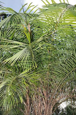 ラフィア椰子の木