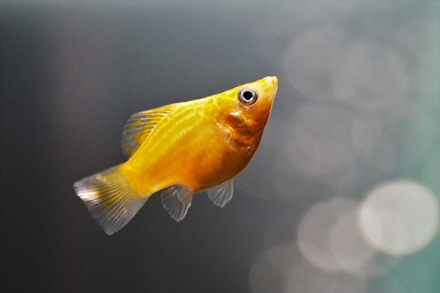 Cara Mengetahui Ciri Ciri Ikan Molly Hamil