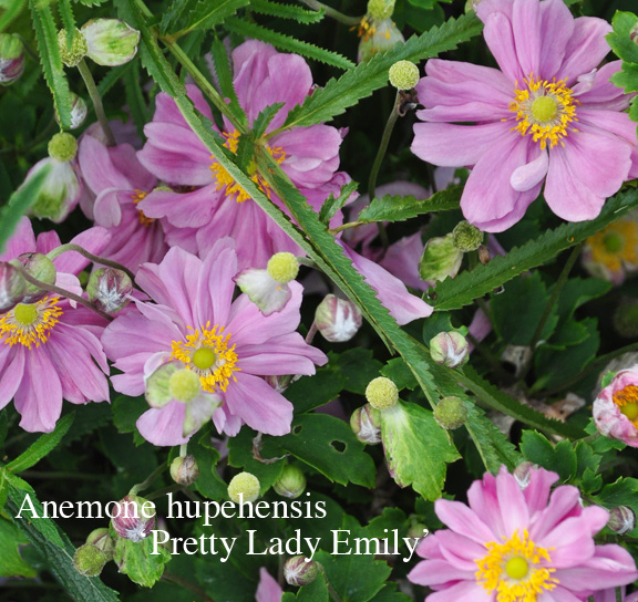 Three dogs in a garden the case for and against japanese anemones anemone hupehensis pretty lady emily has large double flowers that are light pink on a shorter plant like all anemones it likes moist rich soil mightylinksfo