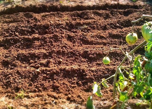 semear favas