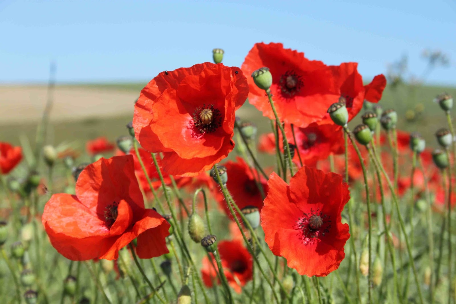Pop Into the Village for Poppies