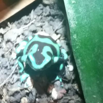 צפרדע ארסית חץ שחורה ירוקה - Dendrobates auratus