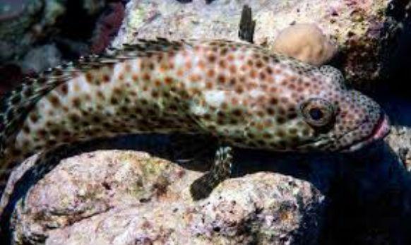Penyakit Ikan Kerapu