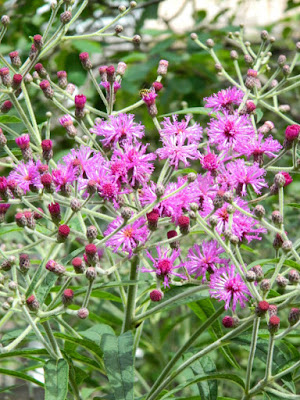 Tall Ironweed Vernonia gigantea Toronto native plants by garden muses-not another Toronto gardening blog
