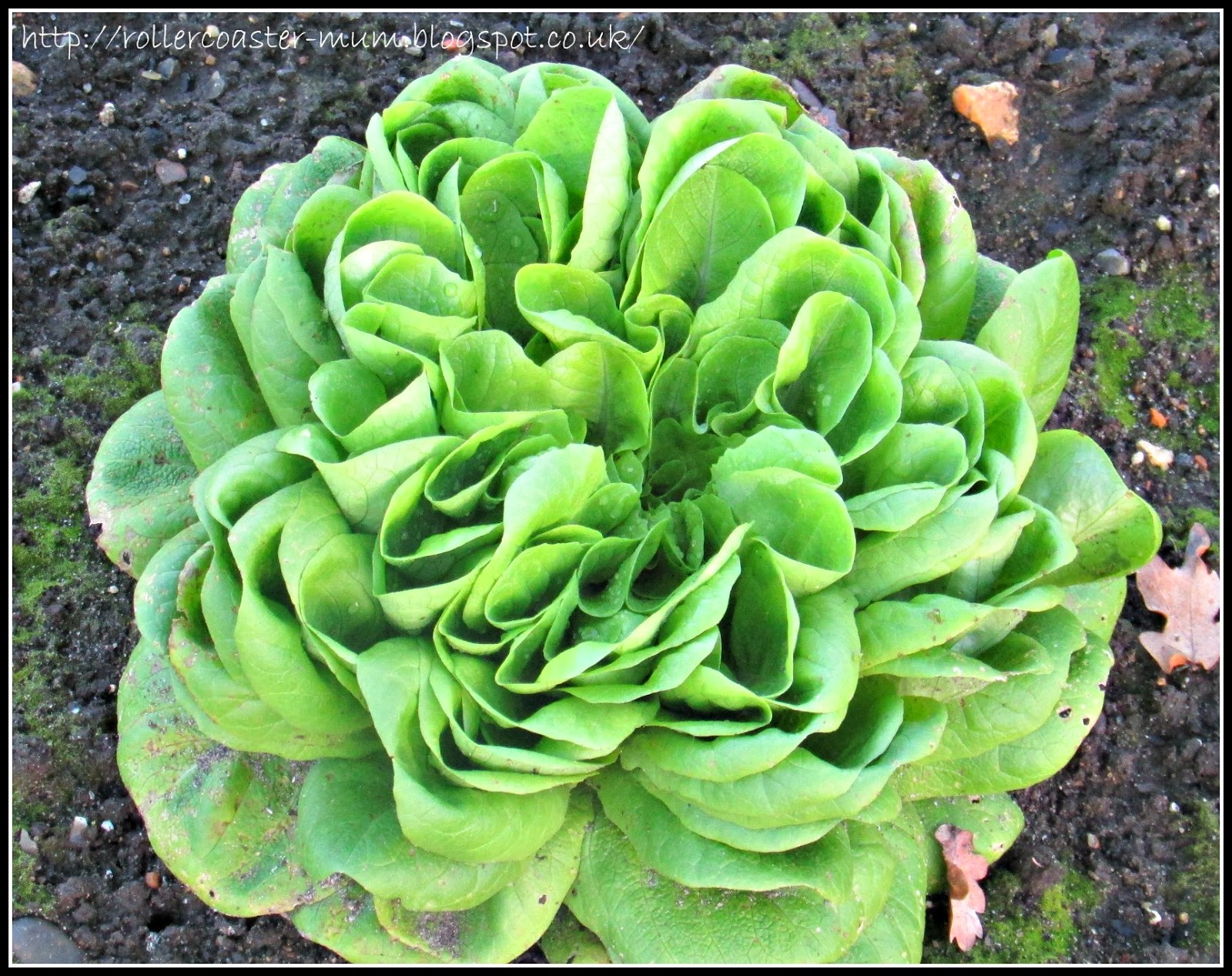 green winter lettuce RHS Wisley