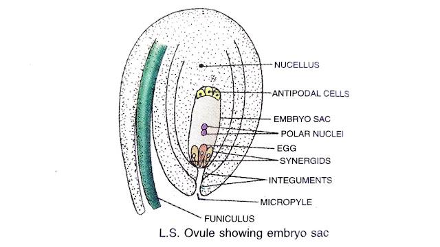 process of fertilization in plants