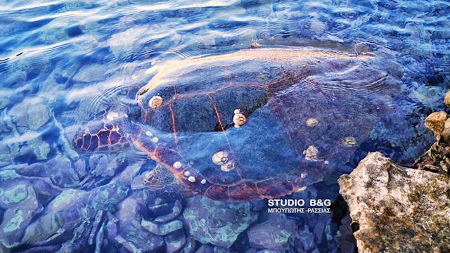 Αφανίζονται οι θαλάσσιες χελώνες στον Αργολικό κόλπο (βίντεο)