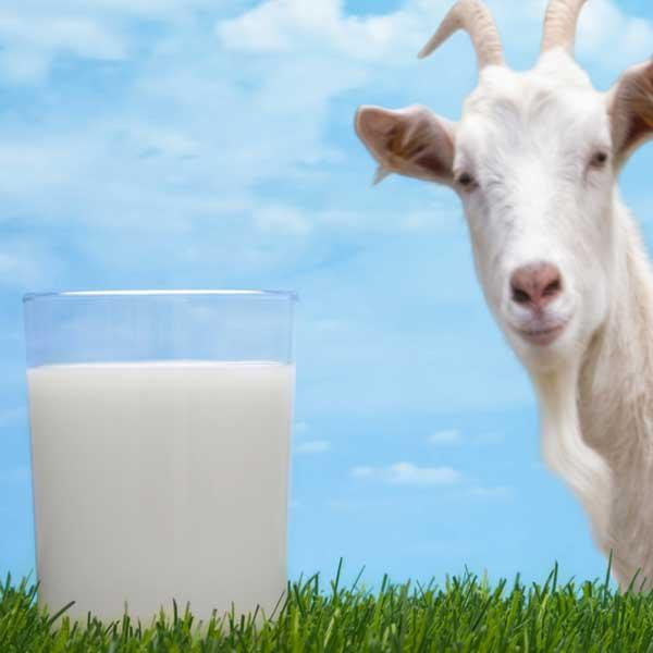 Manfaat-Susu-Kambing