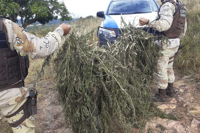 Ação localiza mil pés de maconha prontos para serem comercializados na Chapada Diamantina