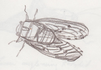 sketch of a cicada by David Borden