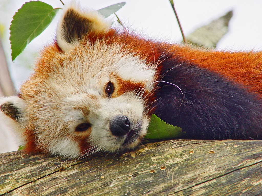 Panda Arten