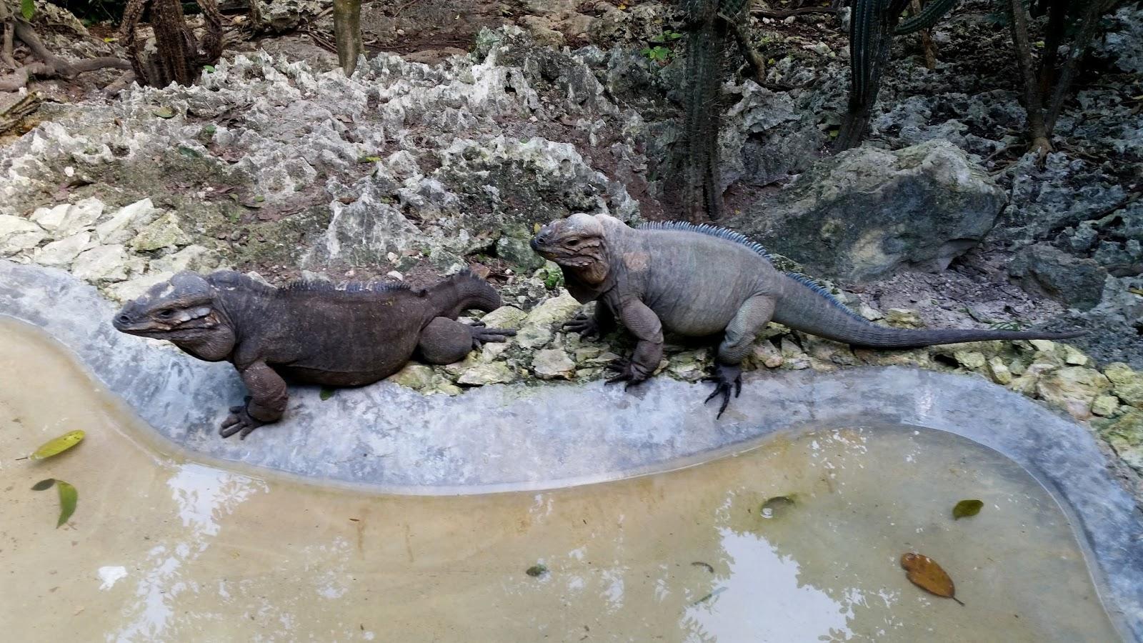 Dominikana iguana