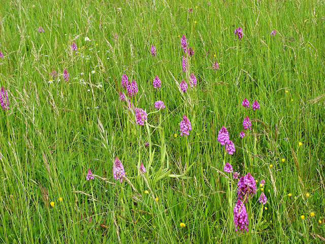 Colony of Pyramidal Orchid Anacamptis pyramidalis in a hay meadow.  Indre et Loire, France. Photographed by Susan Walter. Tour the Loire Valley with a classic car and a private guide.