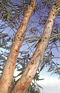 pohon eucaliptus