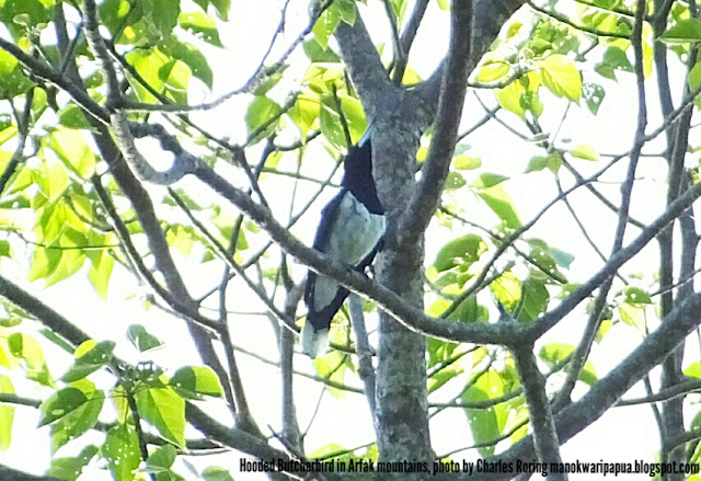 Hooded Butcherbird was singing in a tree in Susnguakti forest of Manokwari