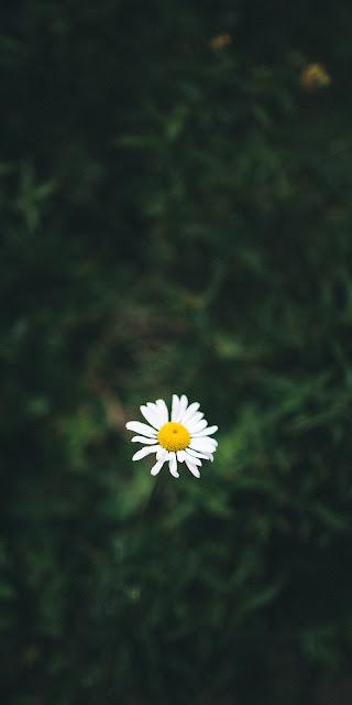 Cúc họa mi cô đơn lẻ loi giữa màu xanh của thiên nhiên
