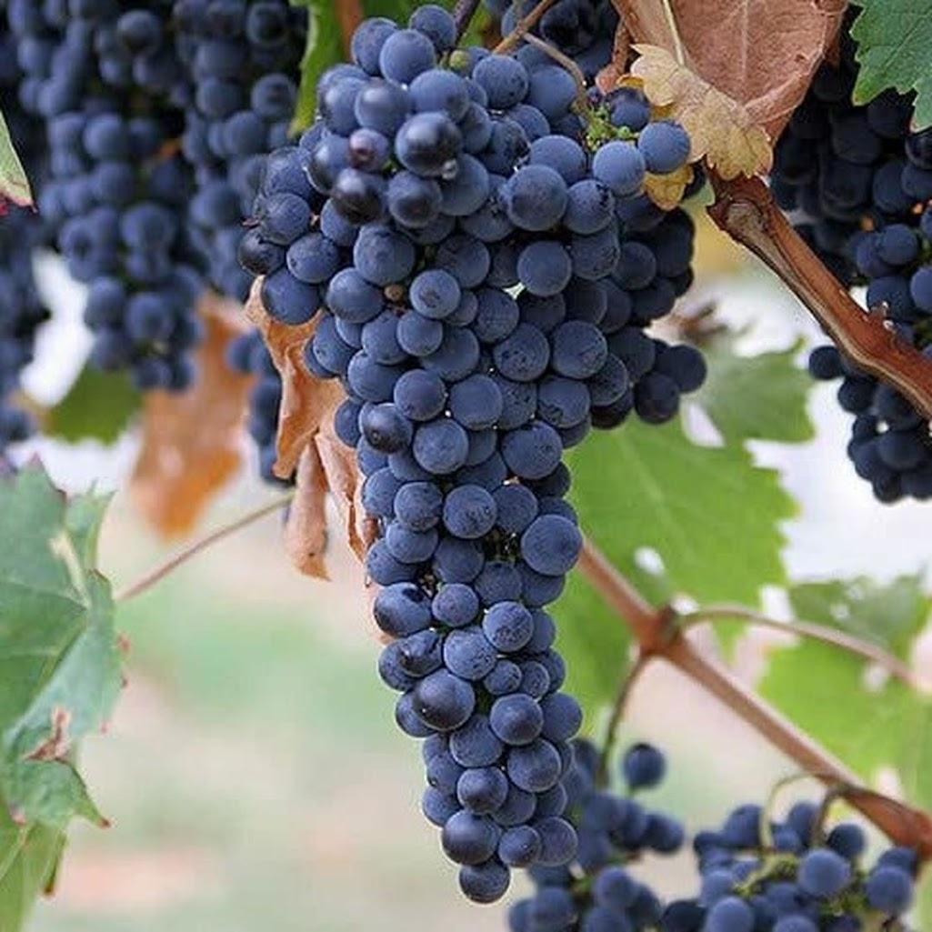 Bibit Benih Seeds Biji Buah ANGGUR AMUR Grape Fruit Anggur Manis Import isi 15 biji Tarakan
