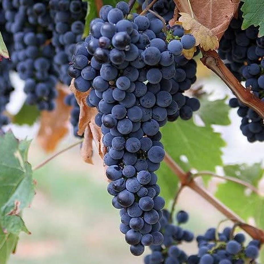 Bibit Benih Seeds Biji Buah ANGGUR AMUR Grape Fruit Anggur Manis Import isi 15 biji Dumai