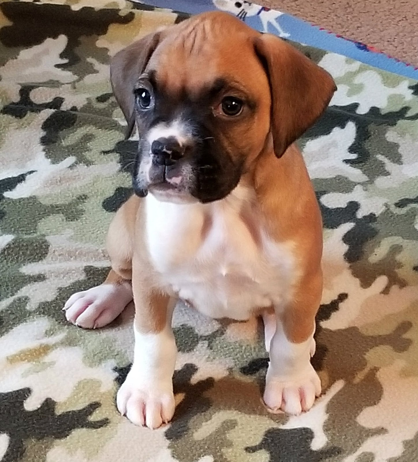 Buy Boxer Puppies For Sale In Turkey
