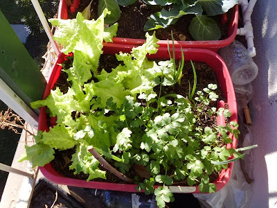 Lettuce and Cilantro Container