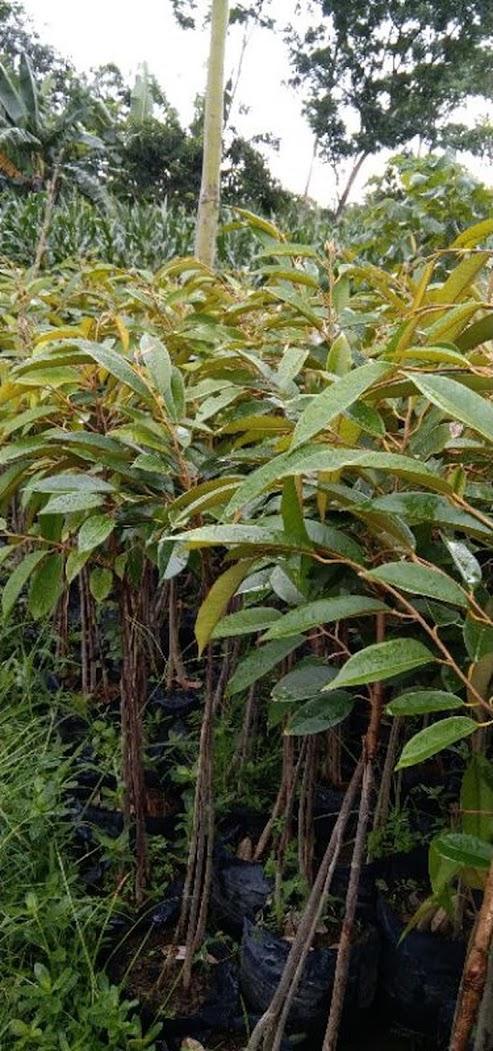 durian bawor tinggi 1 meter up Riau