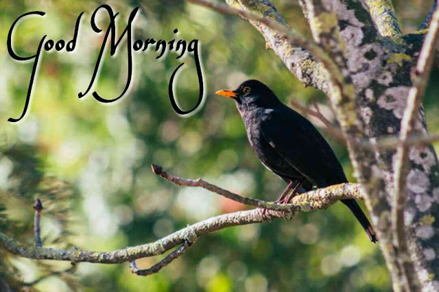 blackbird beautiful good morning image