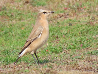 Wheatear at Stanpit © Clinton Whale.