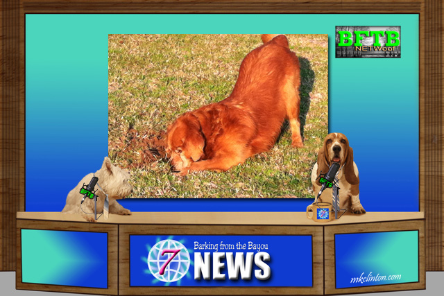BFTB NETWoof News with Golden Retriever digging