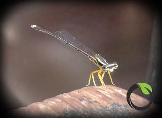 Mengenal capung jarum sebagai predator alami