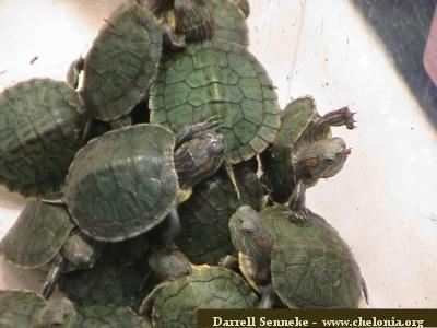 How fast do red eared sliders grow