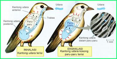 materi pelajaran kelas 5 sd tema 2 k13 sistem pernapasan pada burung