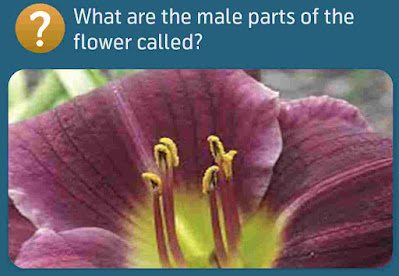 What are the male parts of the flower called