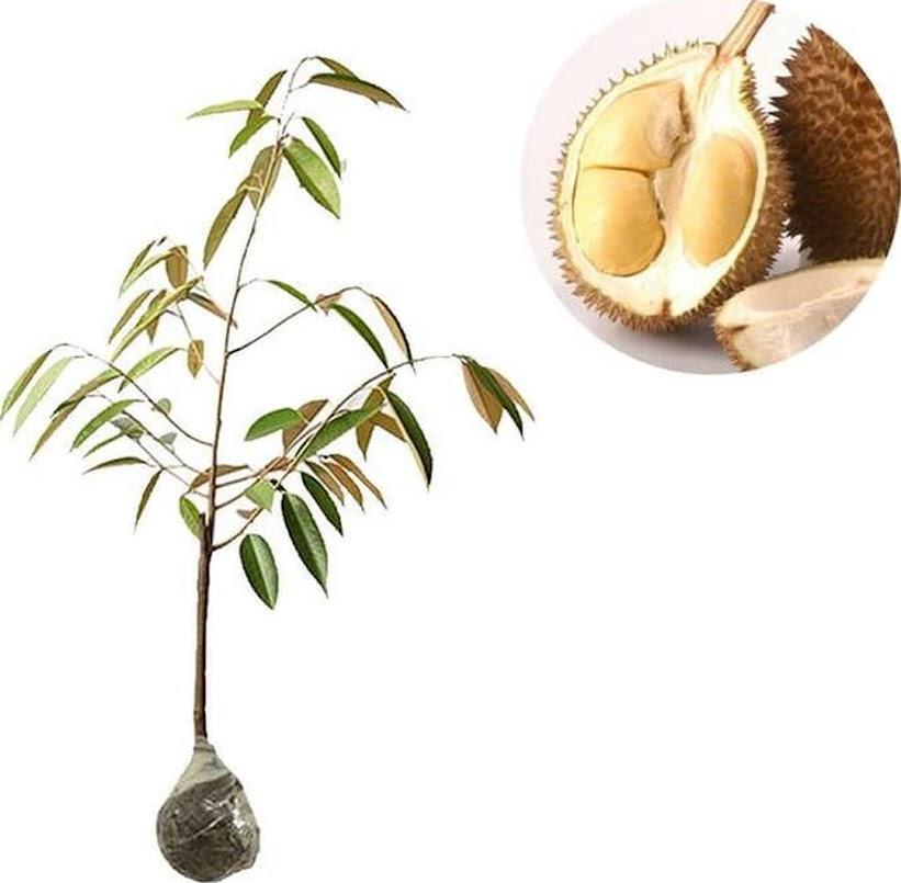 Bibit Tanaman Durian D24 Malaysia Lhokseumawe