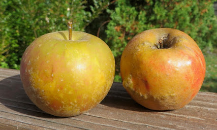 Two russeted, colored apples, similar but with some differences.