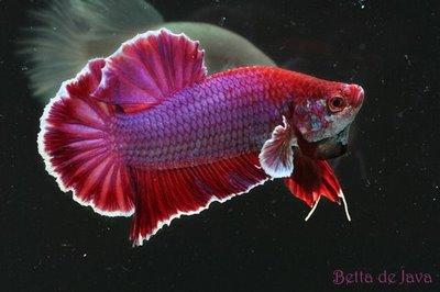 Bimo Arnikko™: spesifikasi ikan cupang , guppy , molly dan ...